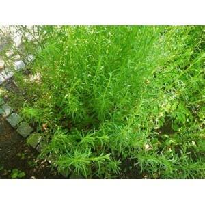 Plant Arquebuse