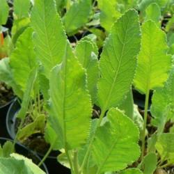 Plant Reine des Prés