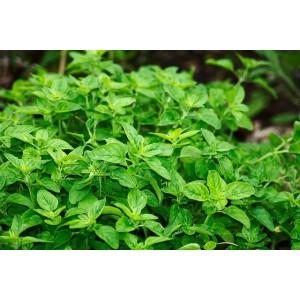 Plant Origan