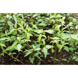 Plant Coriandre Vietnamienne