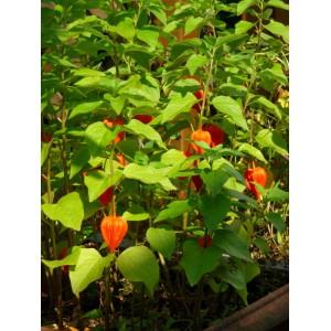 Plant Physalis (Amour en cage)