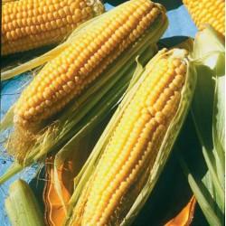 Plant Maïs Doux Golden Bantam. Lot de 6