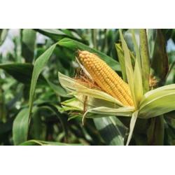 Plant de Goji
