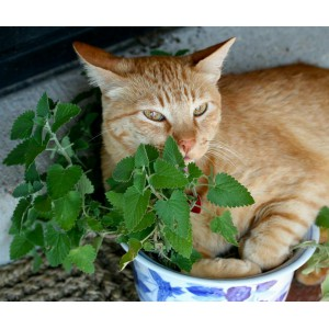 Plant cataire / Herbe à chat