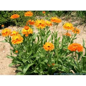 Plant Soucis