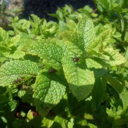 Plant Frenugrec