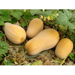 Plant Courge Butternut