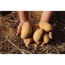 """Pomme de Terre variété """"Samba"""""""