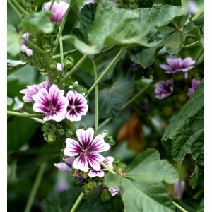 Plantes médicinales ou ornementales